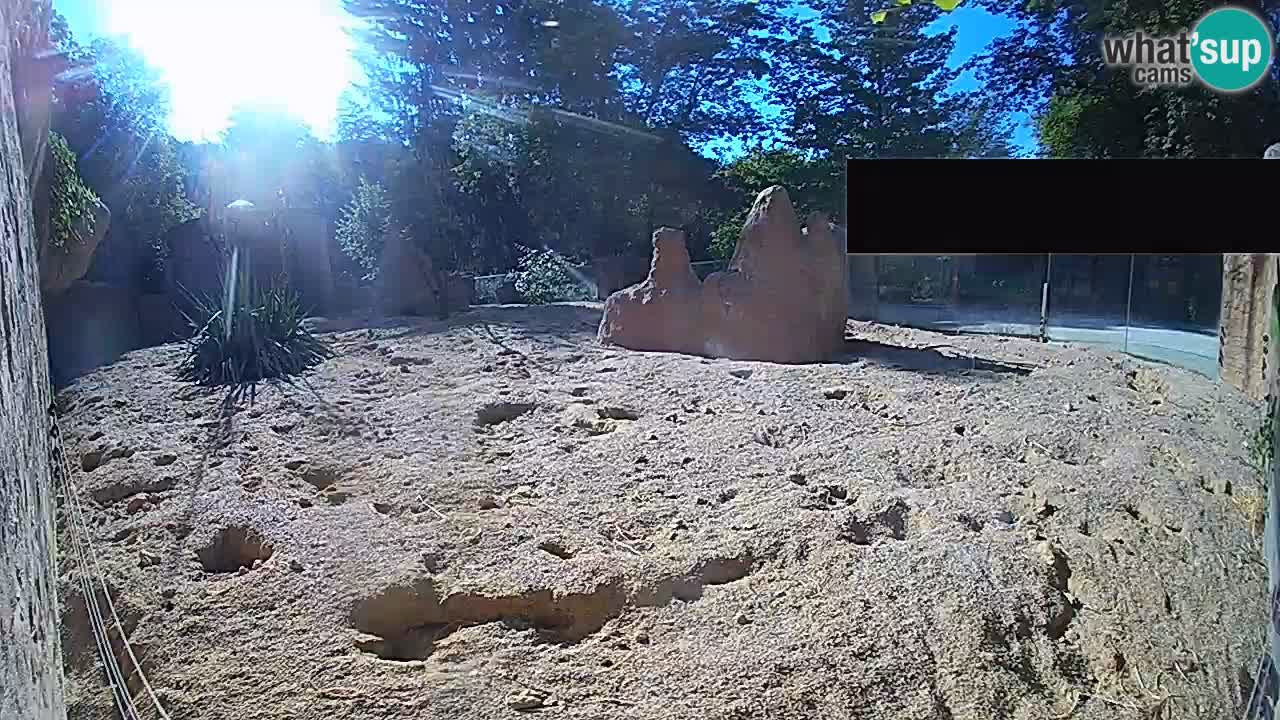 Webcam Zoo Ljubljana – Suricate
