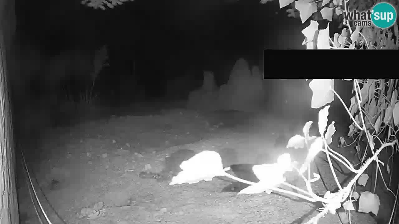 Live cam Zoo Ljubljana – Erdmännchen