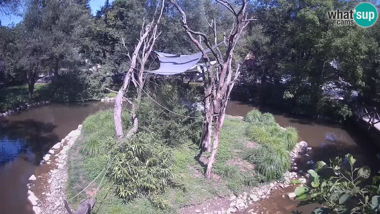 Gibon – Nomascus gabriellae – Zoo Ljubljana web kamera